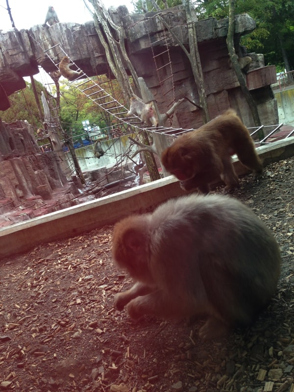 円山動物園の猿